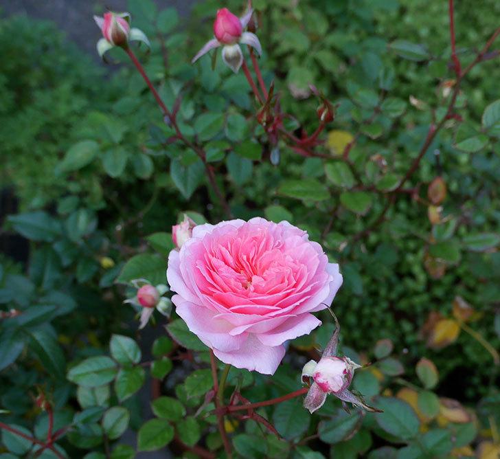 レディ・メイアンディナ(ミニバラ)に濃いピンクの花が咲いた。2017年-3.jpg