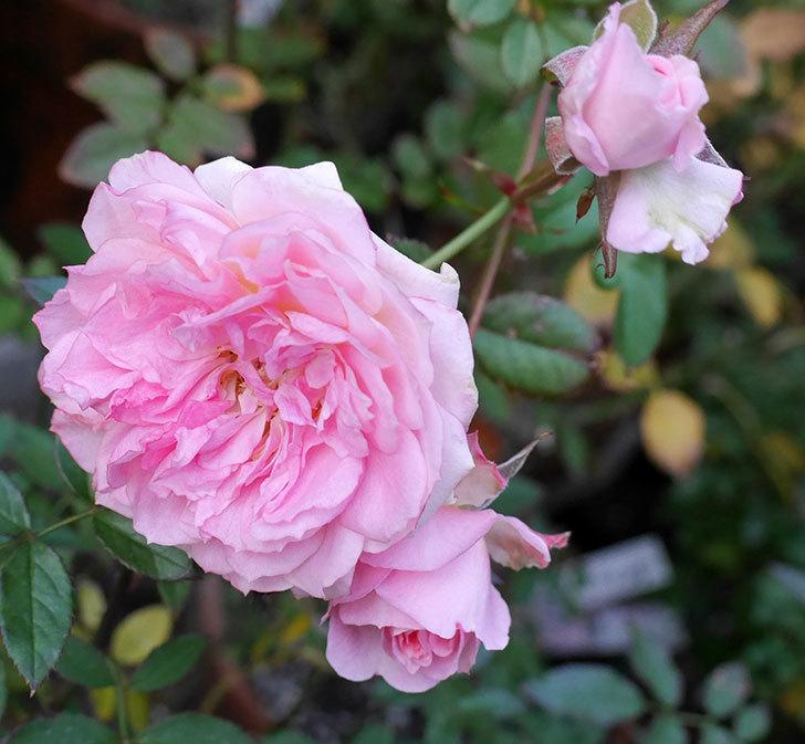 レディ・メイアンディナ(ミニバラ)に濃いピンクの花が咲いた。2017年-4.jpg