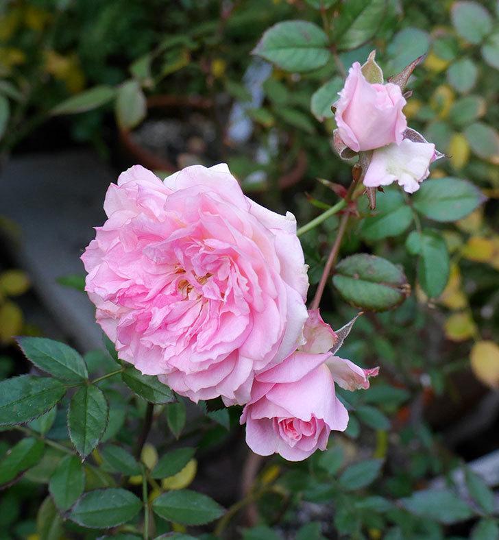 レディ・メイアンディナ(ミニバラ)に濃いピンクの花が咲いた。2017年-5.jpg