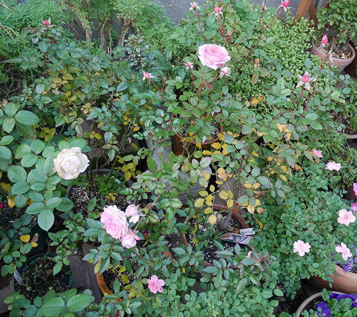 レディ・メイアンディナ(ミニバラ)に濃いピンクの花が咲いた。2017年-6.jpg