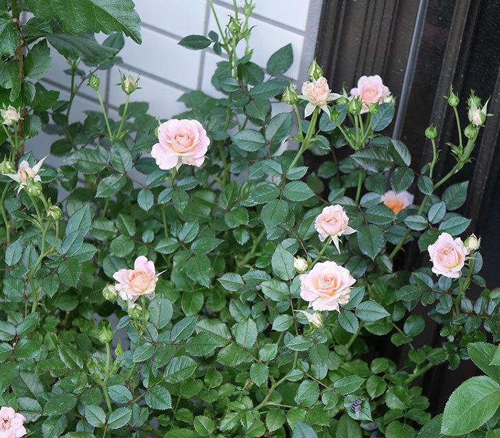 レディ・メイアンディナ(ミニバラ)の2番花が咲いた。2018年-1.jpg