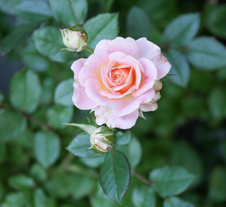 レディ・メイアンディナ(ミニバラ)の2番花が咲いた。2018年-2.jpg