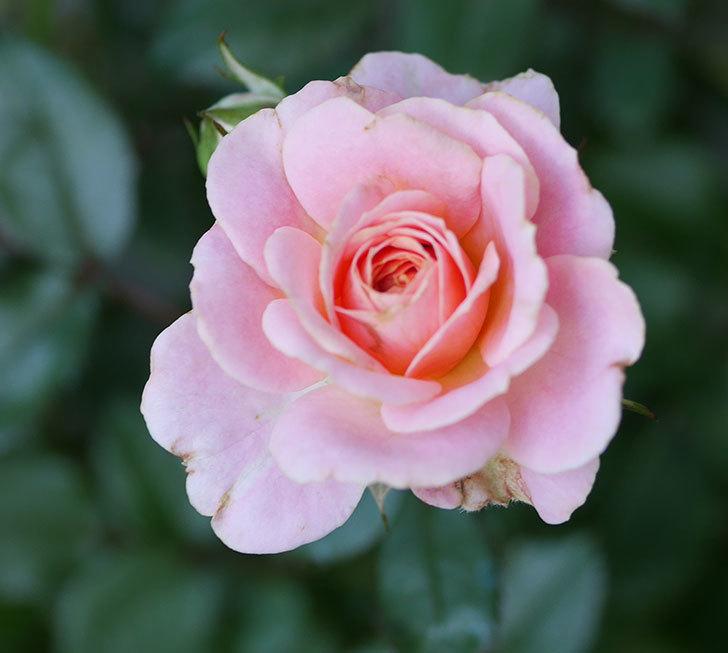 レディ・メイアンディナ(ミニバラ)の2番花が咲いた。2018年-3.jpg