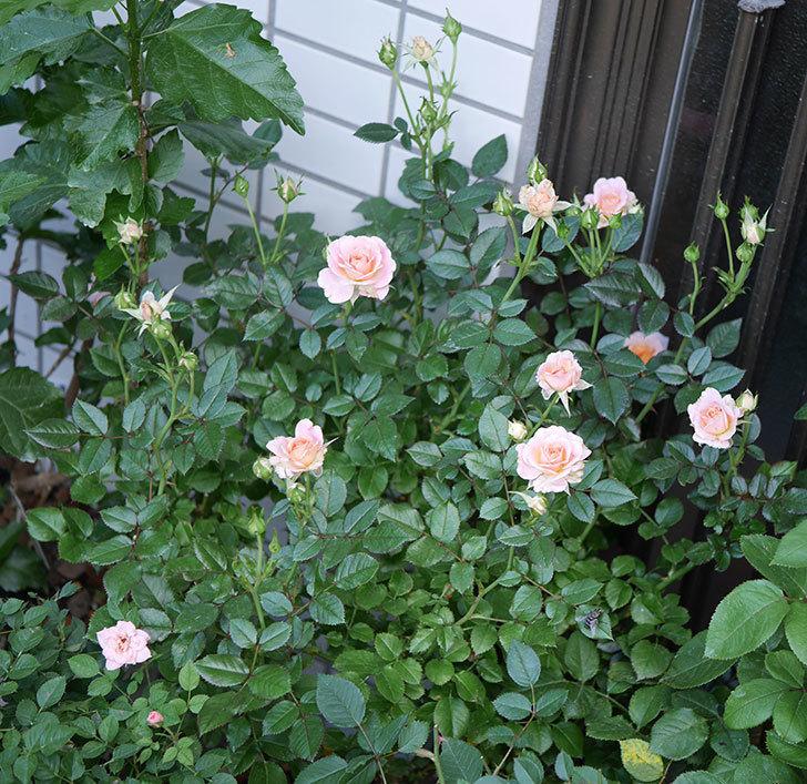 レディ・メイアンディナ(ミニバラ)の2番花が咲いた。2018年-4.jpg