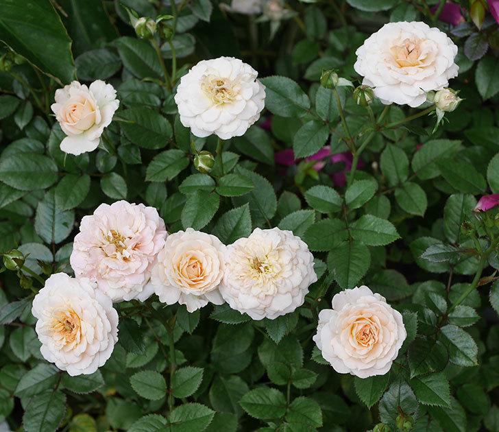 レディ・メイアンディナ(ミニバラ)の2番花が咲いた。2019年-1.jpg