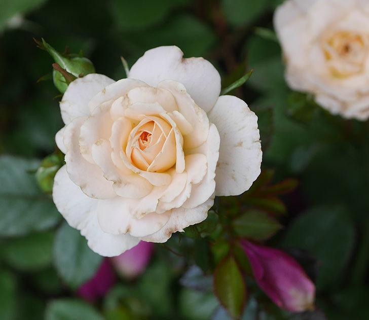 レディ・メイアンディナ(ミニバラ)の2番花が咲いた。2019年-2.jpg