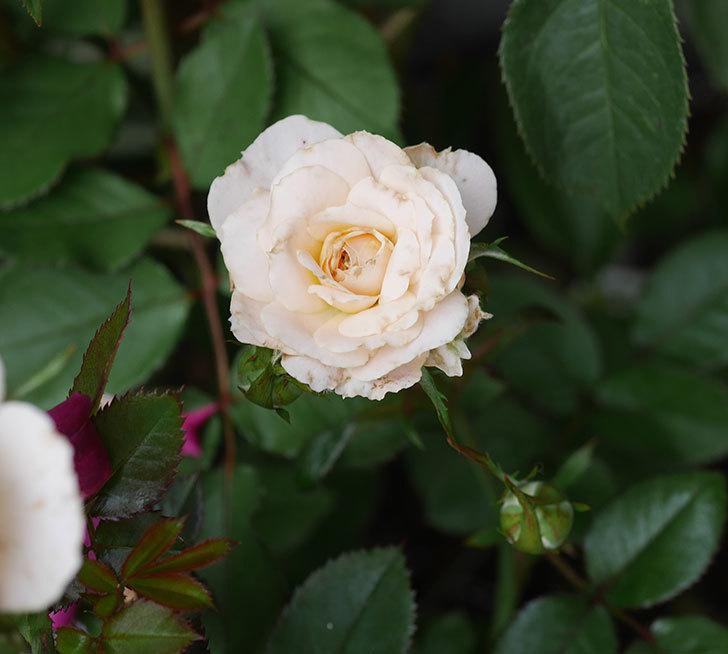 レディ・メイアンディナ(ミニバラ)の2番花が咲いた。2019年-3.jpg