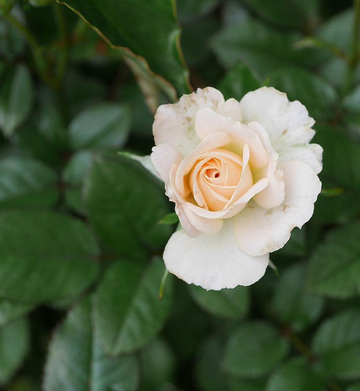 レディ・メイアンディナ(ミニバラ)の2番花が咲いた。2019年-4.jpg