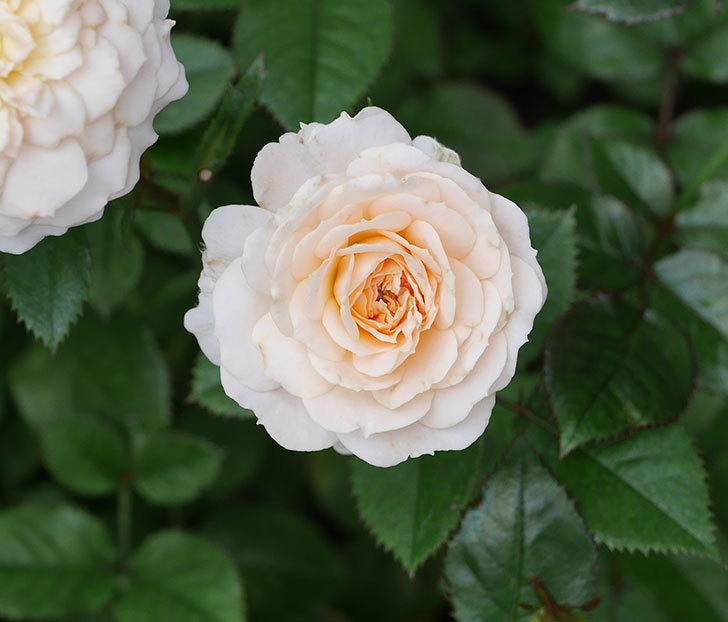 レディ・メイアンディナ(ミニバラ)の2番花が咲いた。2019年-5.jpg