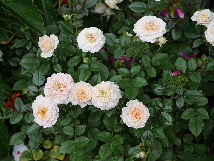 レディ・メイアンディナ(ミニバラ)の2番花が咲いた。2019年-6.jpg