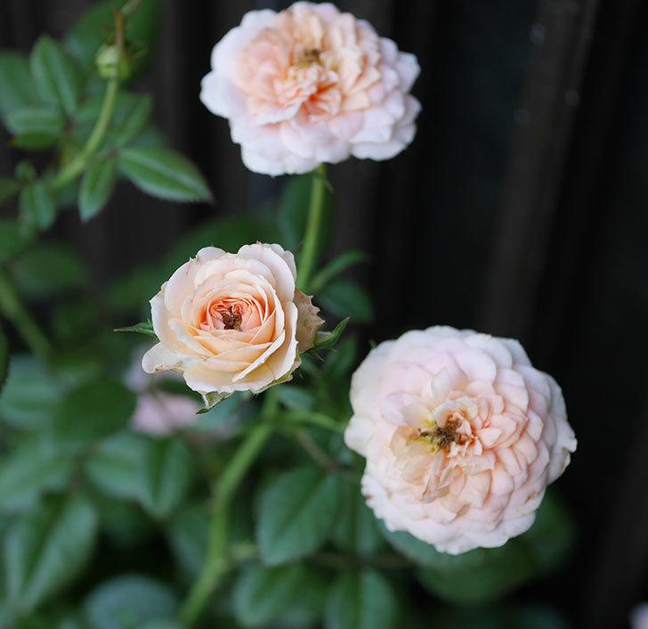 レディ・メイアンディナ(ミニバラ)の夏花が咲いた。2018年-1.jpg