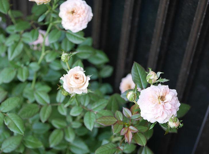 レディ・メイアンディナ(ミニバラ)の夏花が咲いた。2018年-2.jpg