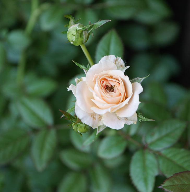 レディ・メイアンディナ(ミニバラ)の夏花が咲いた。2018年-3.jpg