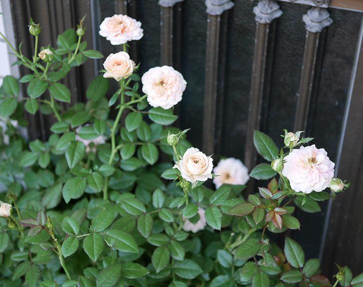 レディ・メイアンディナ(ミニバラ)の夏花が咲いた。2018年-4.jpg
