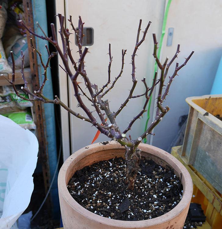 レディ・メイアンディナ(ミニバラ)の植え替えと冬剪定をした。2018年-1.jpg