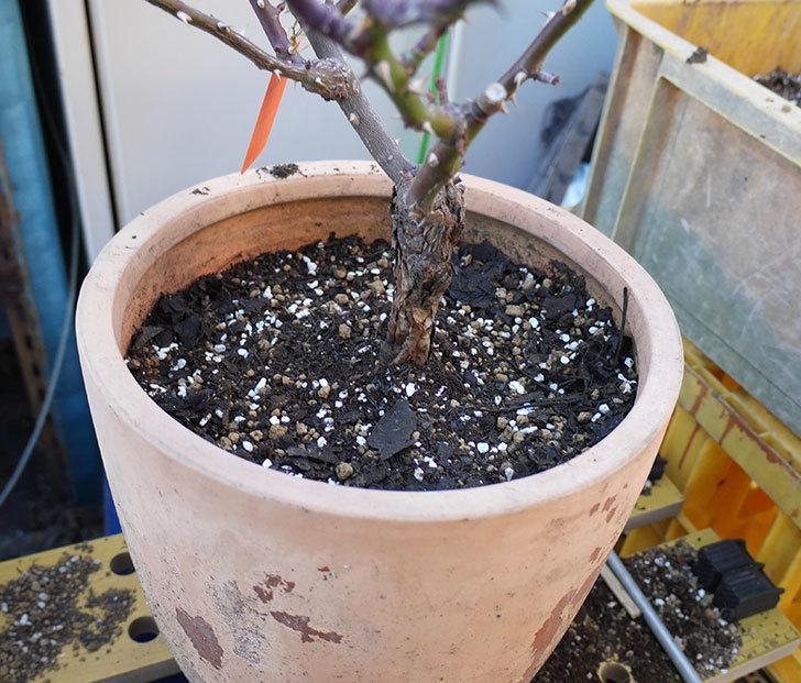 レディ・メイアンディナ(ミニバラ)の植え替えと冬剪定をした。2018年-6.jpg