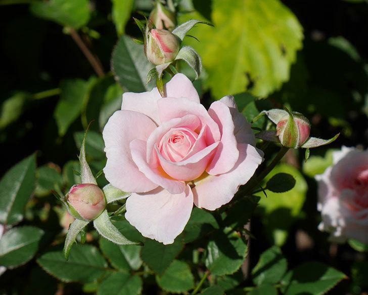 レディ・メイアンディナ(ミニバラ)の秋花が咲いた。2018年-1.jpg