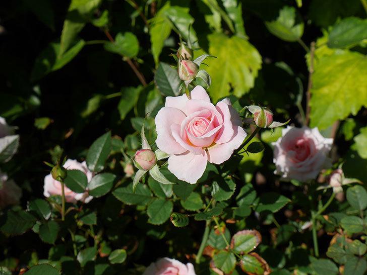 レディ・メイアンディナ(ミニバラ)の秋花が咲いた。2018年-3.jpg