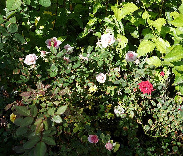 レディ・メイアンディナ(ミニバラ)の秋花が咲いた。2018年-5.jpg