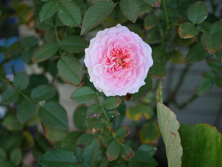 レディ・メイアンディナ(ミニバラ)の秋花が咲いた。2019年-4.jpg