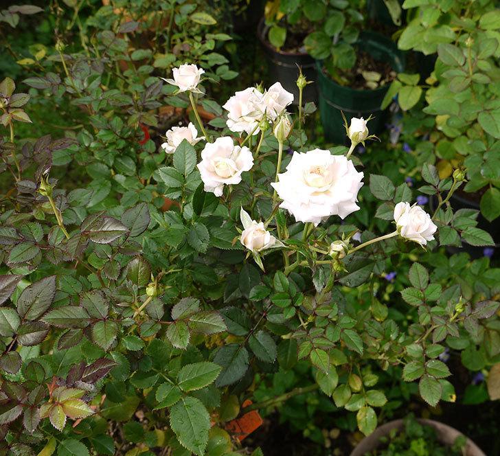 レディ・メイアンディナ(ミニバラ)の秋花が増えてきた。2016年-7.jpg