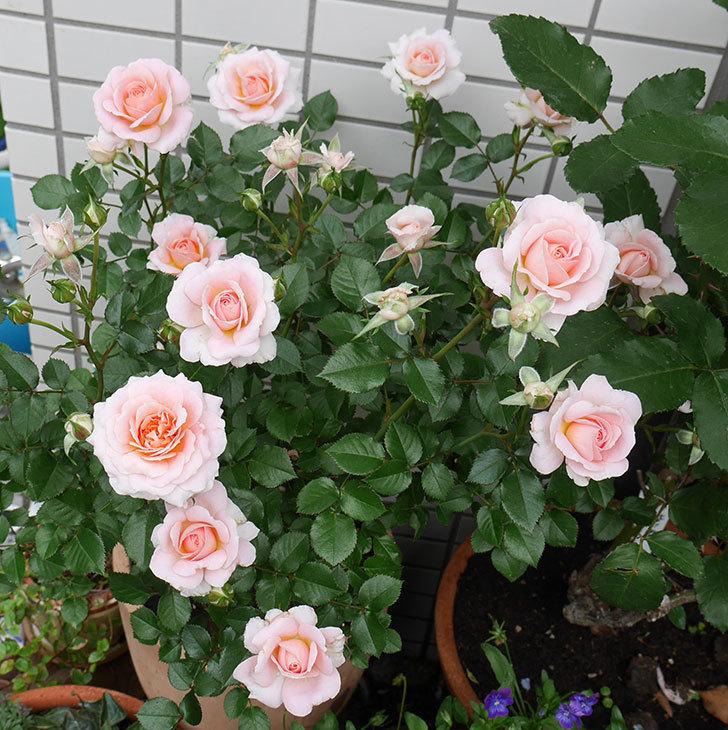 レディ・メイアンディナ(ミニバラ)の花がたくさん咲いた。2018年-1.jpg