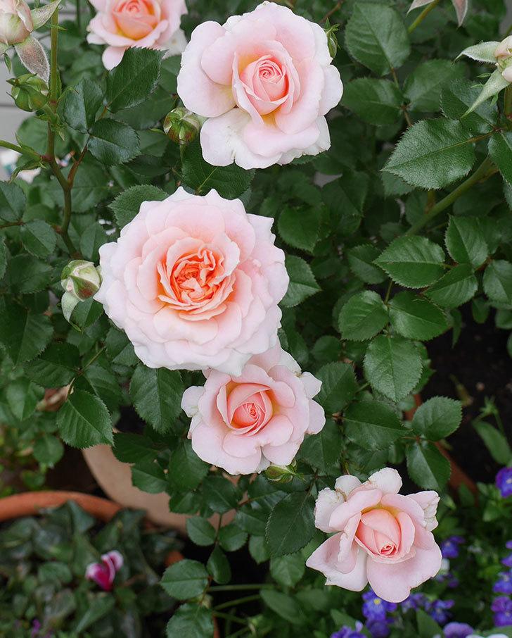 レディ・メイアンディナ(ミニバラ)の花がたくさん咲いた。2018年-2.jpg