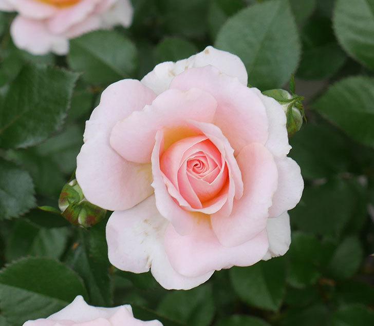 レディ・メイアンディナ(ミニバラ)の花がたくさん咲いた。2018年-4.jpg