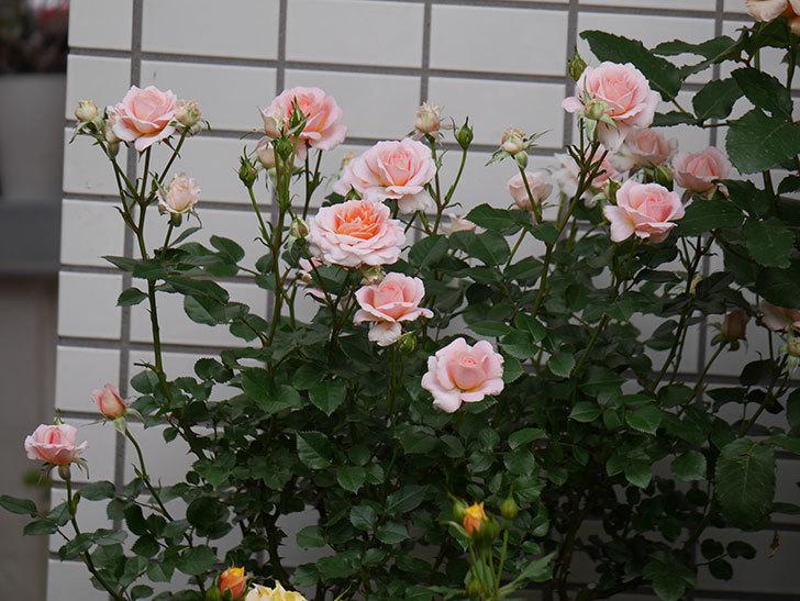 レディ・メイアンディナ(ミニバラ)の花がたくさん咲いた。2018年-5.jpg
