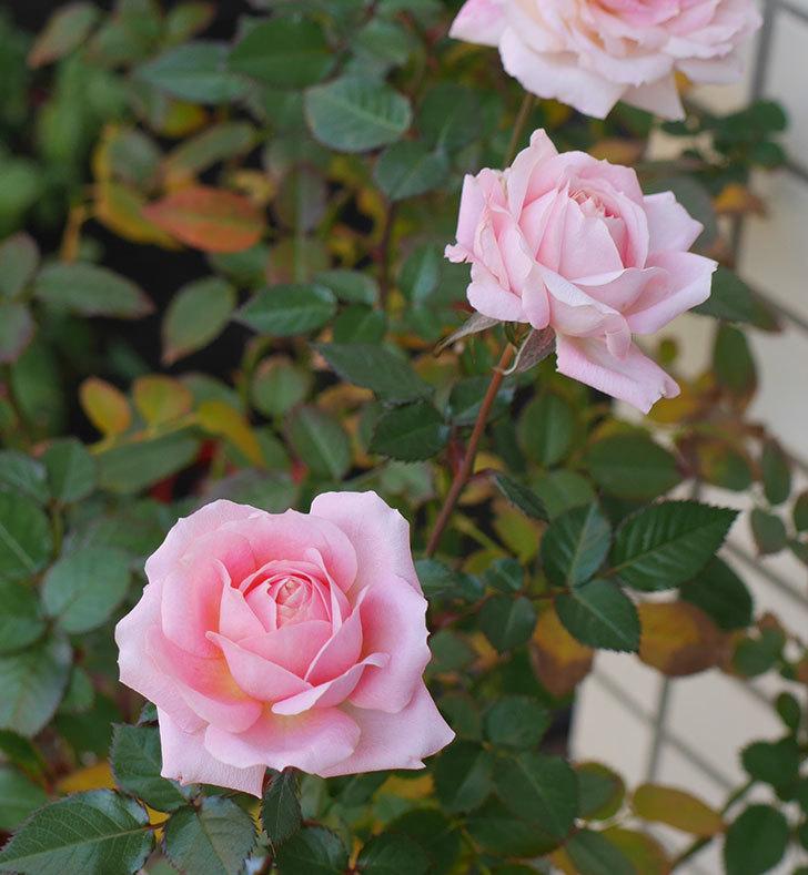 レディ・メイアンディナ(ミニバラ)の花がまだ咲いている。2019年-1.jpg