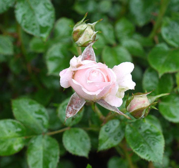 レディ・メイアンディナ(ミニバラ)の花が咲いた。2017年-1.jpg