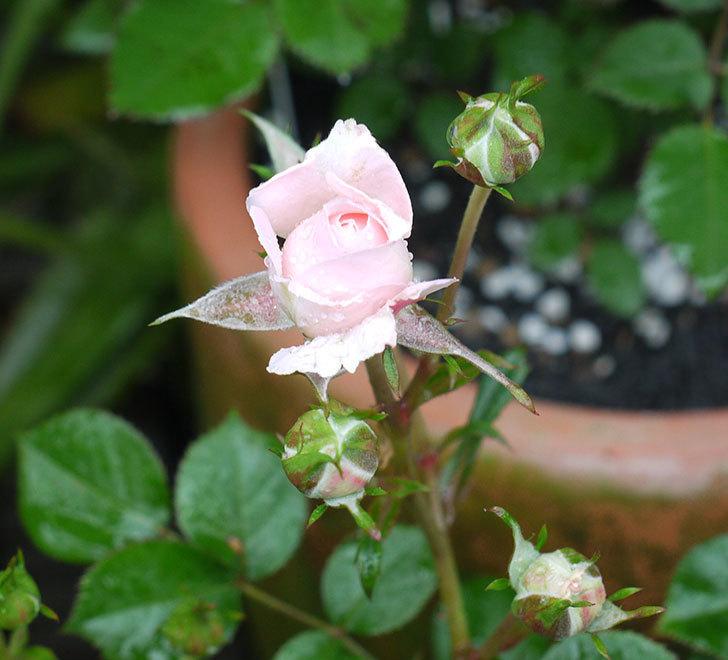 レディ・メイアンディナ(ミニバラ)の花が咲いた。2017年-2.jpg