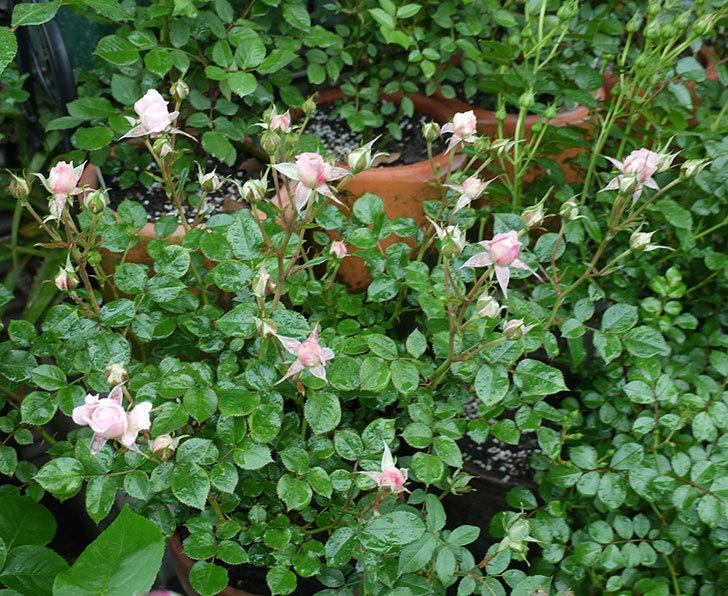 レディ・メイアンディナ(ミニバラ)の花が咲いた。2017年-3.jpg
