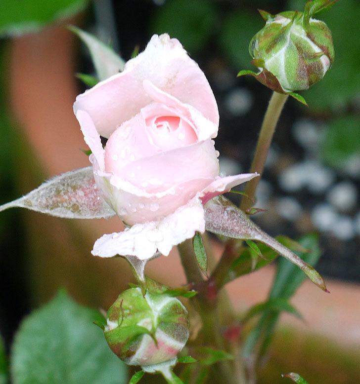 レディ・メイアンディナ(ミニバラ)の花が咲いた。2017年-4.jpg