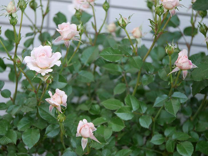 レディ・メイアンディナ(ミニバラ)の花が咲いた。2018年-2.jpg