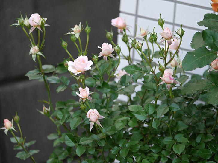 レディ・メイアンディナ(ミニバラ)の花が咲いた。2018年-3.jpg