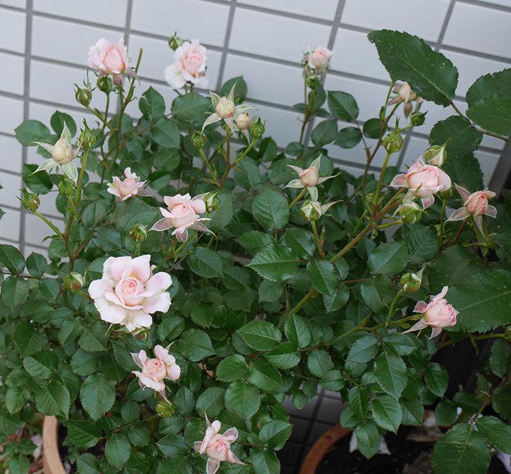 レディ・メイアンディナ(ミニバラ)の花が咲いた。2018年-4.jpg