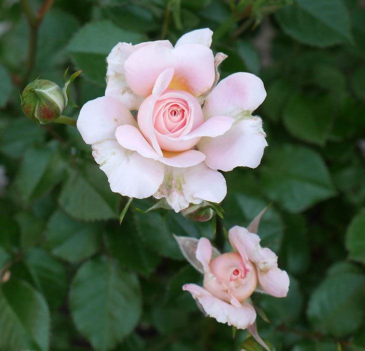 レディ・メイアンディナ(ミニバラ)の花が咲いた。2018年-5.jpg