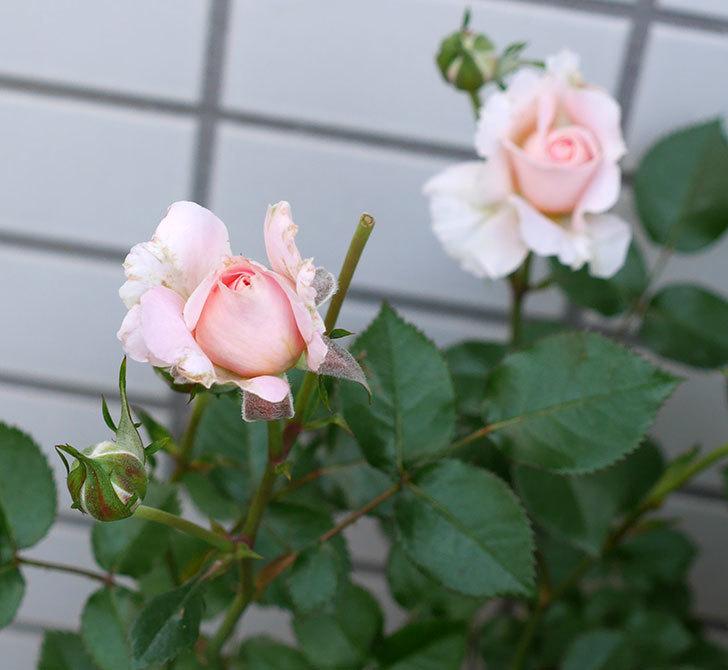 レディ・メイアンディナ(ミニバラ)の花が咲いた。2018年-6.jpg