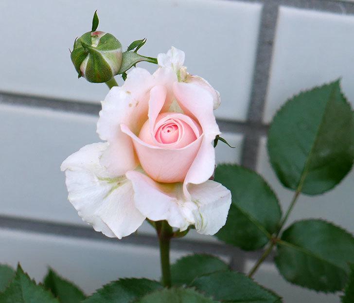 レディ・メイアンディナ(ミニバラ)の花が咲いた。2018年-7.jpg