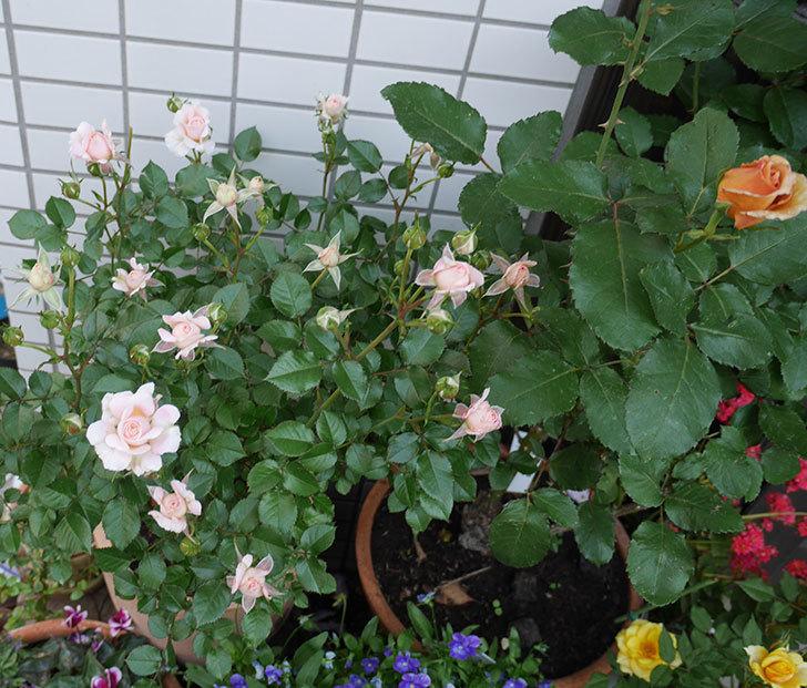 レディ・メイアンディナ(ミニバラ)の花が咲いた。2018年-8.jpg