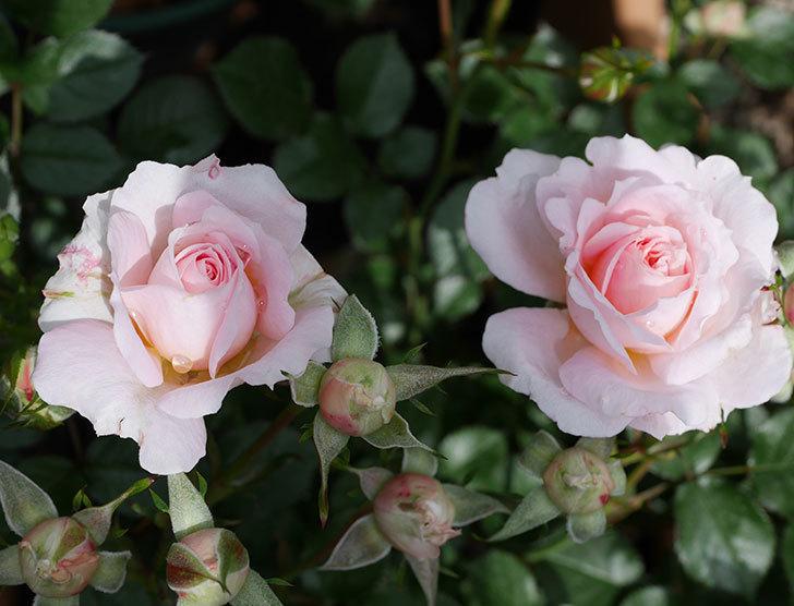 レディ・メイアンディナ(ミニバラ)の花が咲いた。2019年-1.jpg