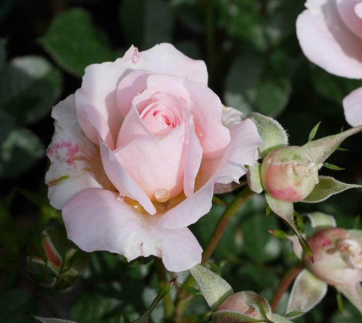 レディ・メイアンディナ(ミニバラ)の花が咲いた。2019年-2.jpg