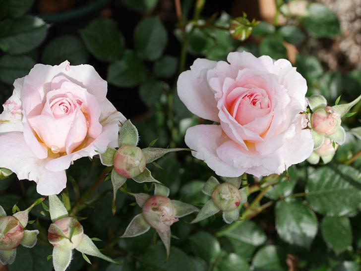 レディ・メイアンディナ(ミニバラ)の花が咲いた。2019年-4.jpg