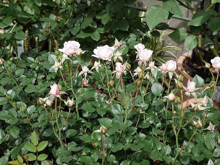 レディ・メイアンディナ(ミニバラ)の花が咲いた。2019年-5.jpg