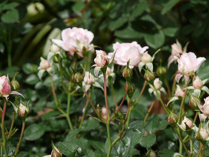 レディ・メイアンディナ(ミニバラ)の花が咲いた。2019年-6.jpg