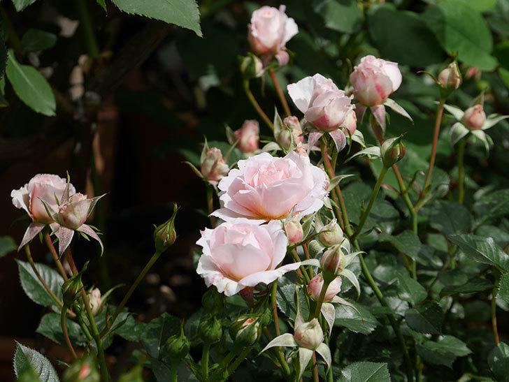 レディ・メイアンディナ(ミニバラ)の花が咲いた。2019年-7.jpg