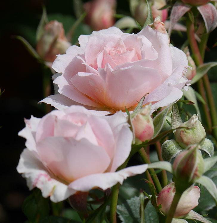 レディ・メイアンディナ(ミニバラ)の花が咲いた。2019年-8.jpg