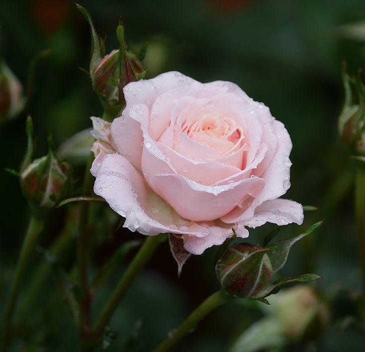 レディ・メイアンディナ(ミニバラ)の花が咲いた。2020年-1.jpg