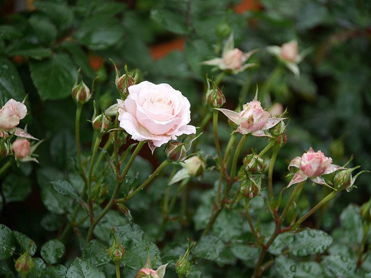 レディ・メイアンディナ(ミニバラ)の花が咲いた。2020年-2.jpg